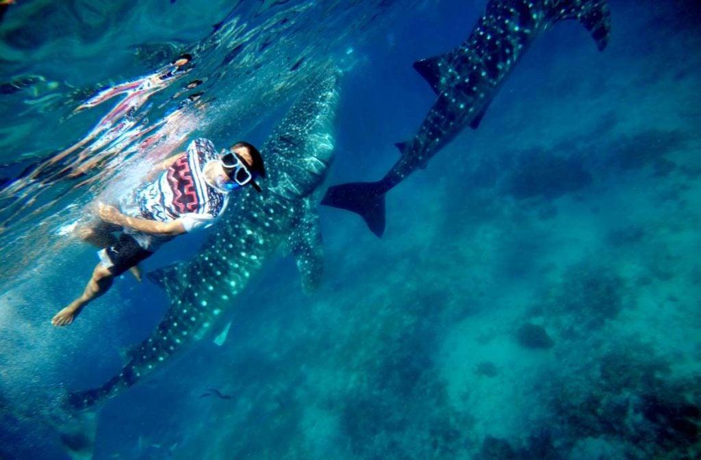 Turismo Responsável - tubarões baleia