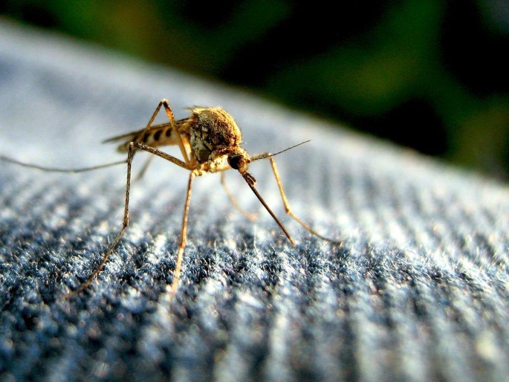 Macro de um mosquito