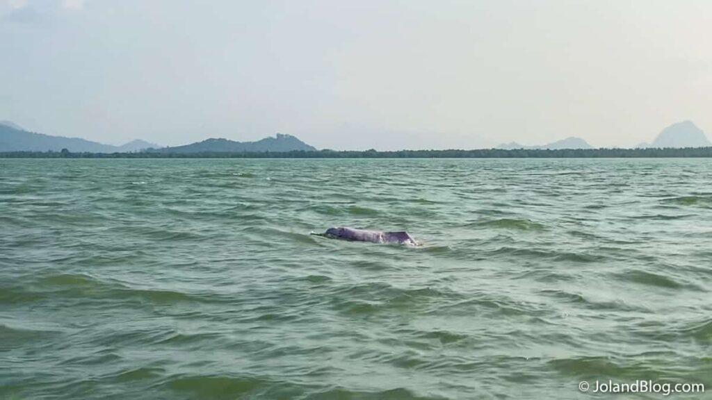 Golfinho cor de rosa em Surat Thani - Roteiro de Viagem pelo Sul da Tailândia